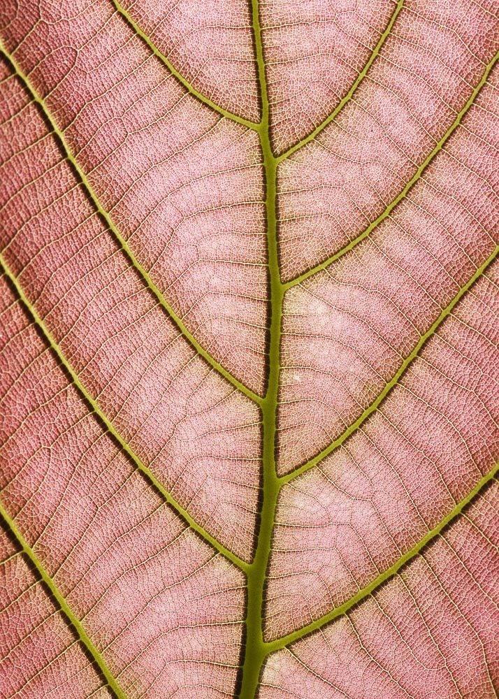 Struktura Różowego Liścia, Plakat - 1