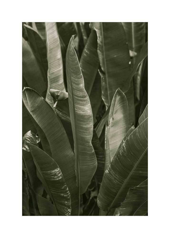 LiÅ›cie Bananowca, Plakat - 1